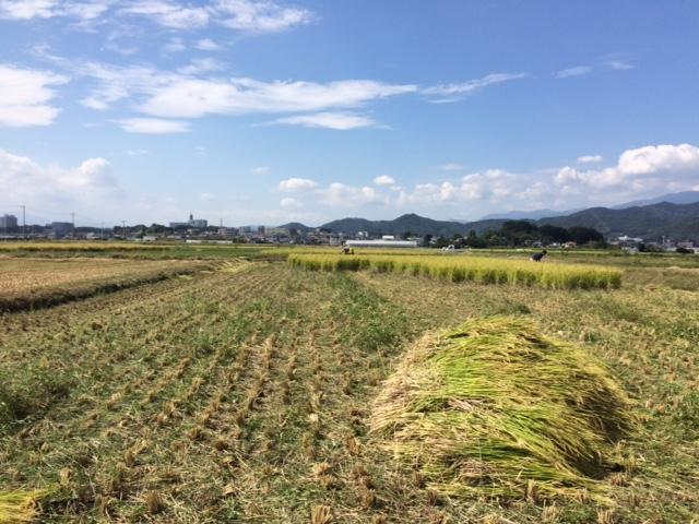 終わりに近づく稲刈り